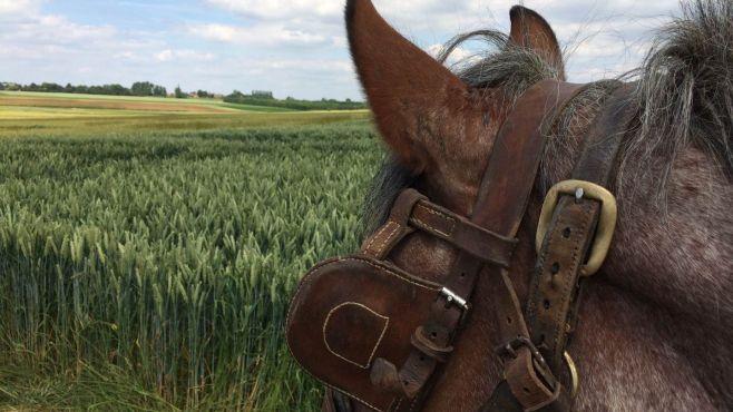 Tête et oreilles de cheval
